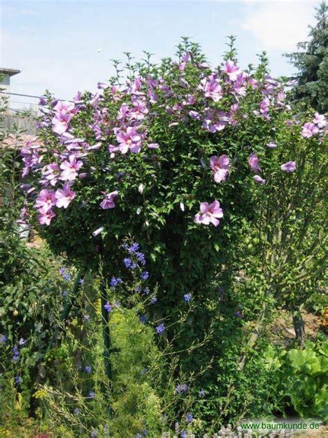 strauch garten winterhart strauch eibisch hibiscus syriacus habitus bestimmen