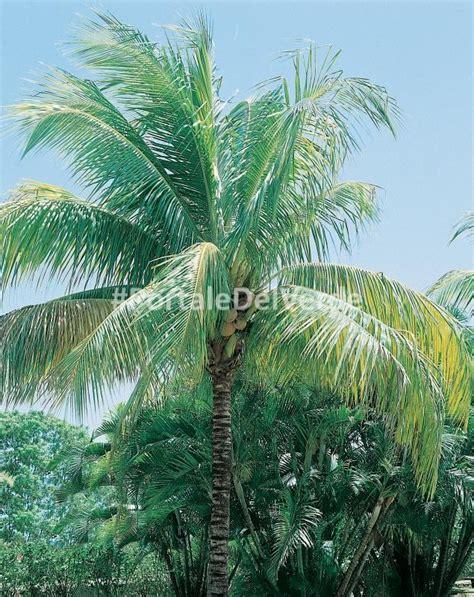 pianta di cocco da appartamento palma da cocco cocos nucifera l frutti esotici