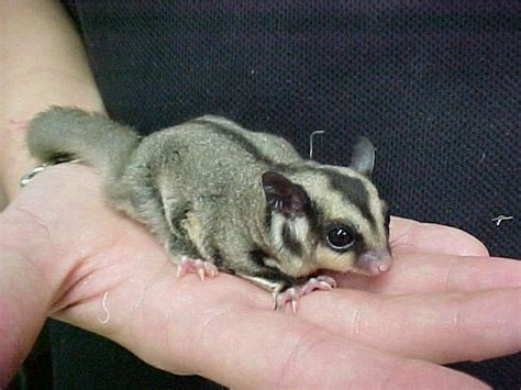 sugar glider life cycle related keywords suggestions sugar glider life cycle long tail keywords