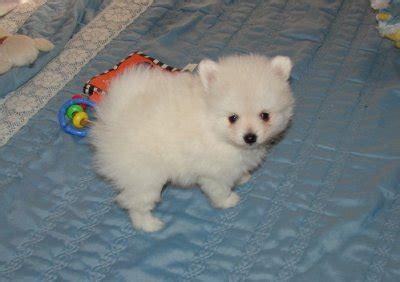 white pomeranian for adoption white pomeranian puppies for adoption chesterfield 30049501