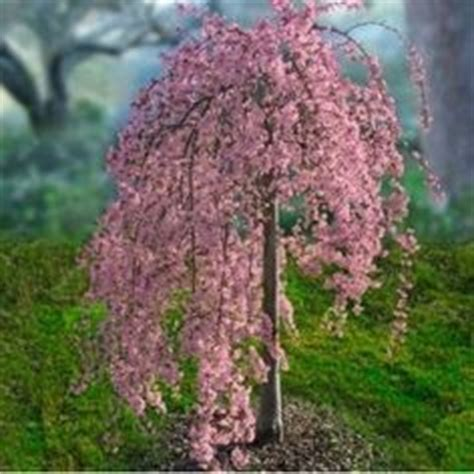 cherry trees b b shere best 25 weeping cherry tree ideas on