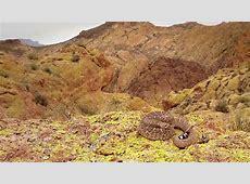 A Deadly Western Diamondback Rattlesnake (Crotalus Atrox ... Western Diamondback Rattlesnake Head