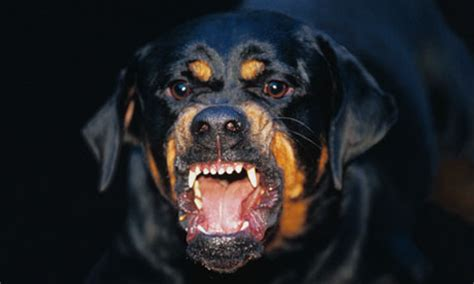 rottweiler barking on dangerous dogs has been woefully inadequate mps warn uk news the guardian