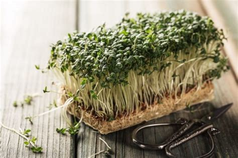 crescione in cucina crescione propriet 224 terapeutiche utilizzi in cucina e