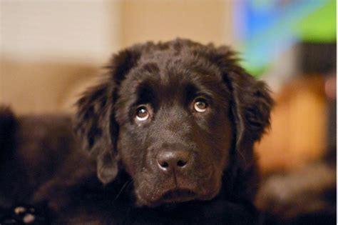 newfoundland puppies cost brown newfoundland puppy jpg hi res 720p hd