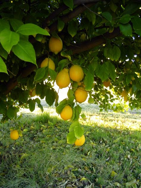 fertilizer for citrus fruit trees got citrus learn how and when to fertilize birds and blooms