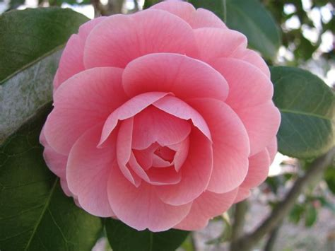 Camelia Pink 1000 images about camellia flowers on gardens winter flowers and flower