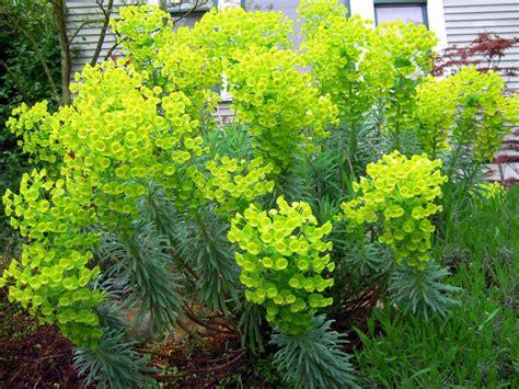 Green Garden Flowers Euphorbia 3 Florafocus