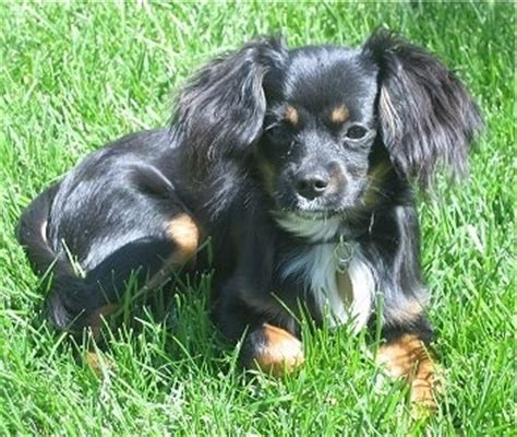 cavalier pomeranian mix cavapom breed information and pictures