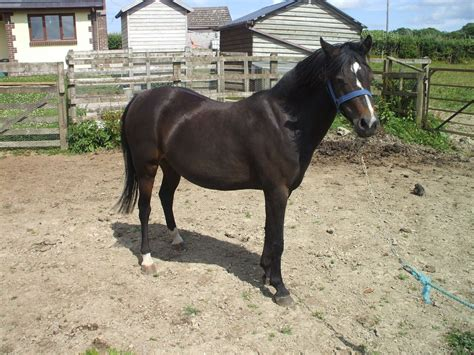 section b welsh pony for sale section b welsh mare llanwrda carmarthenshire pets4homes