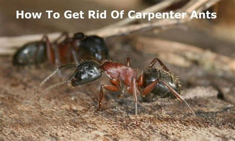 how to get rid of a beehive in your backyard 25 best ideas about carpenter ant damage on pinterest