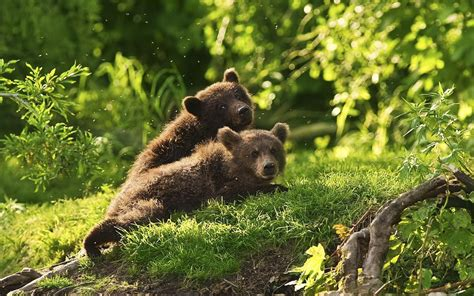 photo   young brown bear cubs hd animals wallpapers