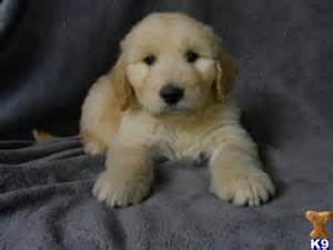 puppies for adoption in michigan goldendoodle rescue mi breeds picture