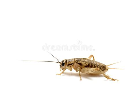 house cricket brown house cricket profile royalty free stock photos image 11174498
