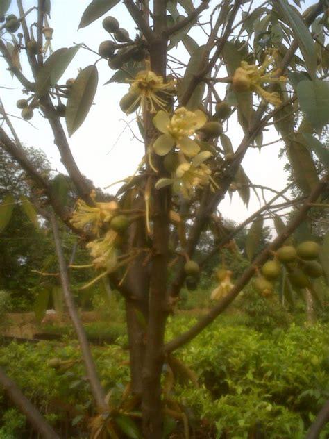jual pohon durian cangkokan berbuah aneka pohon duren