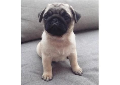 pugs in ohio 101 best images about puppies for sale near me on