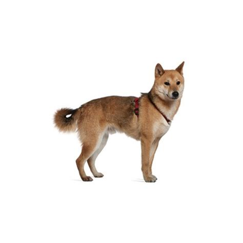 shiba inu puppies michigan shiba inu puppies michigan petland novi