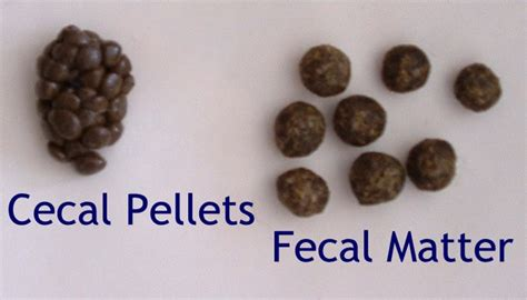 Small Pellets Of Stool by Rabbits Produce 2 Types Of Rabbits