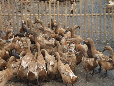 Fermentasi Pakan Ternak Entok upgrade pakan bebek dengan fermentasi ardhi borneo gemilang