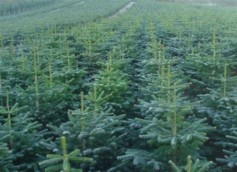 christmas trees chesham your own tree