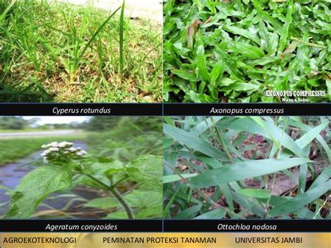 gulma  tanaman hortikultura