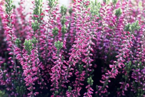 fiori di erica erica coltivazione