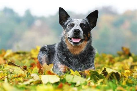 australian cattle puppy 9 hearty facts about australian cattle dogs mental floss