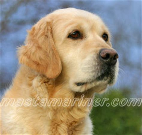 golden retriever baton golden retriever needs home uk dogs our friends photo