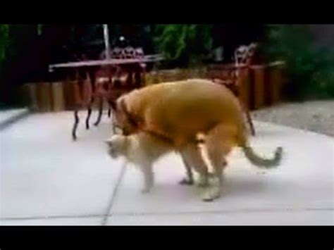 dogs mating with cats cat mating