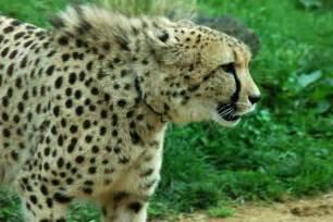 Jaguar Diet Facts Jaguar Facts For Jaguar Diet Behavior Habitat