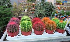 colored cactus garden trends what s for the garden this