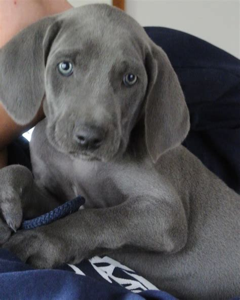 weim puppies weimaraner puppy owyheestar weimaraner s news