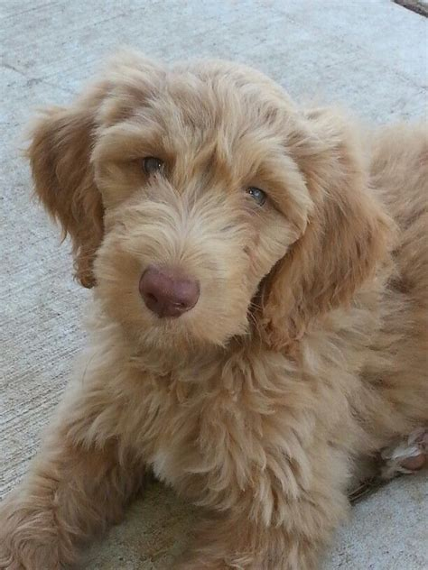 goldendoodle puppy fur 39 best like my fur baby pippin the goldendoodle images on