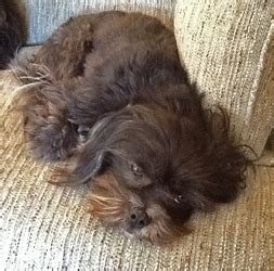 havanese rescue dallas rosie in northern california available from havanese rescue http www
