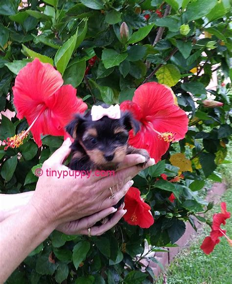buy tiny teacup yorkie teacup yorkie x poodle breeds picture