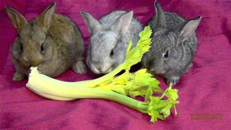 cute pet baby bunnies eating lettuce funny bunny rabbits babies pets close  youtube