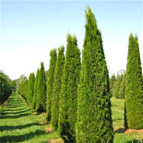 smaragd conifer 6 quot pot hello hello plants garden supplies