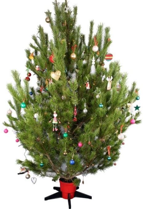 what is the best type of christmas tree telegraph