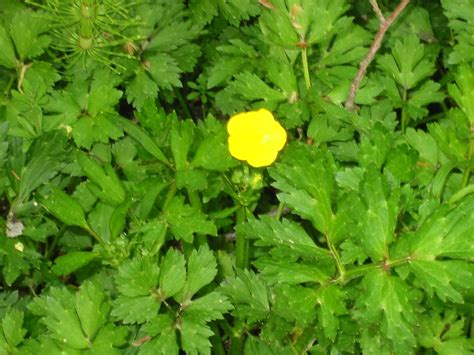 creeping buttercup king county