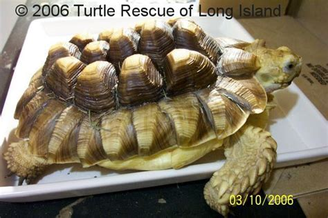 Pyramid Turtle Common turtle and tortoise rescues