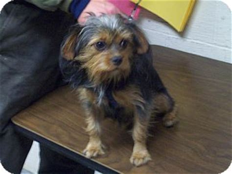 yorkie spaniel mix diablo adopted il yorkie terrier cavalier king charles