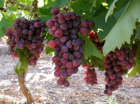 uva da tavola nomi l uva da tavola dalla a alla z agrodolce