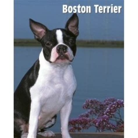 boston terrier puppies for sale in sc boston terrier breeders in south carolina freedoglistings
