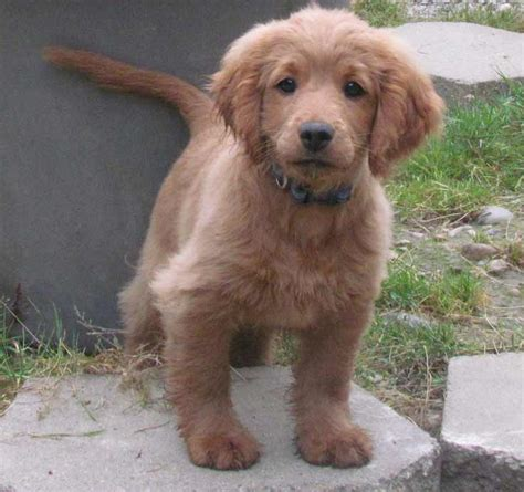 the forever puppy an golden cocker retriever dog breed 187 info pics more