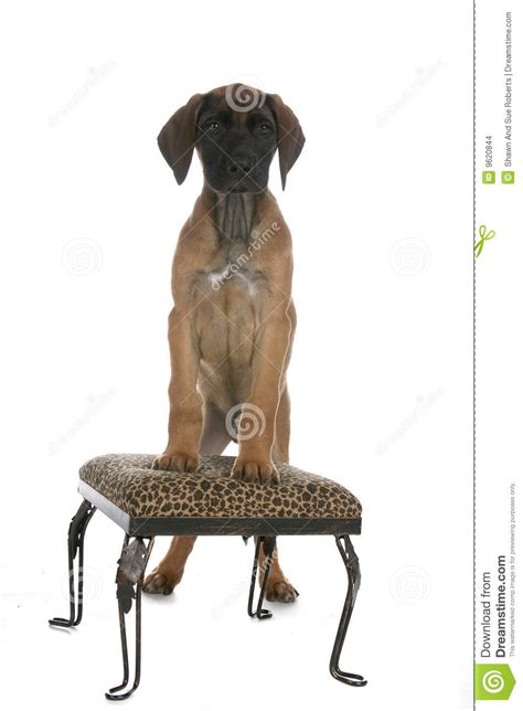 Puppies With Stool by Brown Puppy Standing On Printed Stool Stock Images Image 9620844