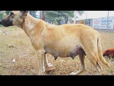 false pregnancy in dogs how to identify false pregnancy