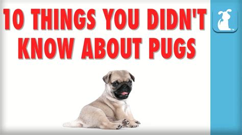 things about pugs 10 things you didn t about pugs puppy