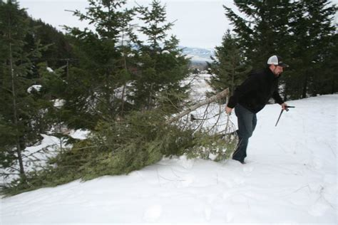 cut down christmas tree in utah a few tips on cutting your own tree montana and fishing information