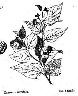 Pelangsing Jati Belanda tumbuhan obat dan sains jati belanda untuk pelangsing