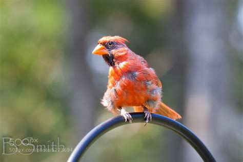 photograph molting cardinal by ben smith on 500px
